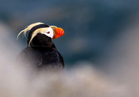 Puffin in the Mist